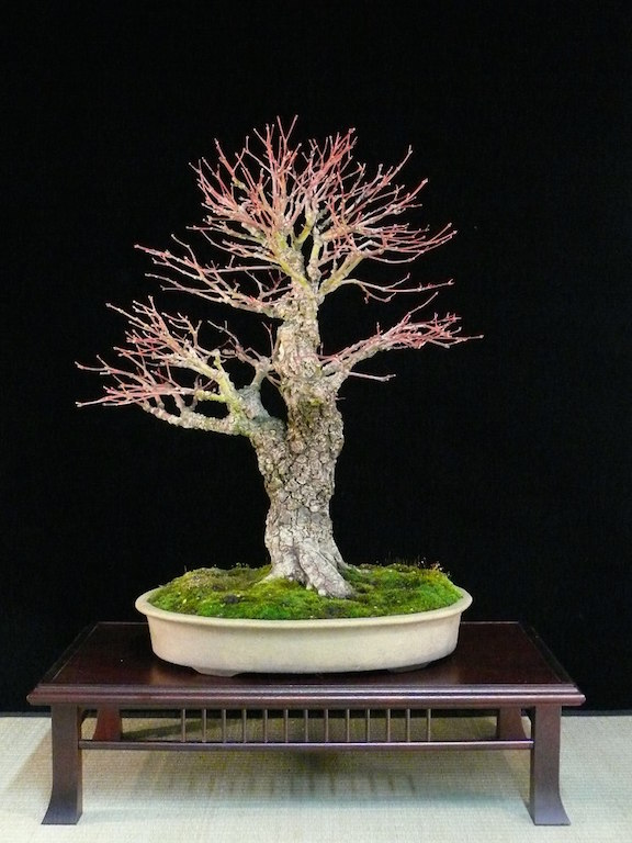 Maple Bonsai Tree